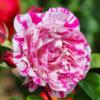 Rosa 'Neil Diamond' (Hybrid Tea Rose)