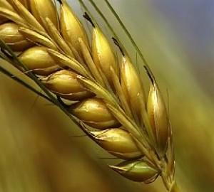 grainofwheat